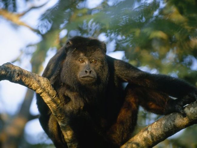 Howler Monkey Chabil Mar Belize Resort