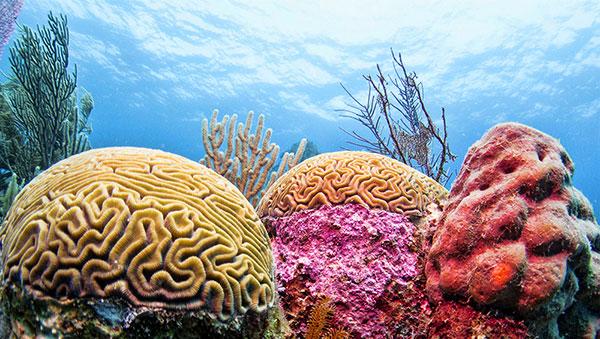 Dive coral James Chabil Mar Resort Belize