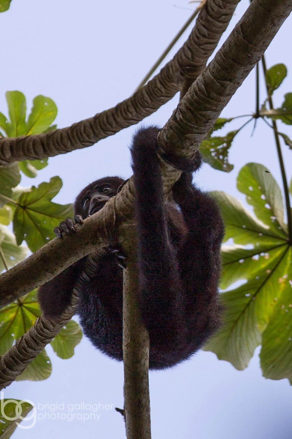 Howler Monkeys in Belize