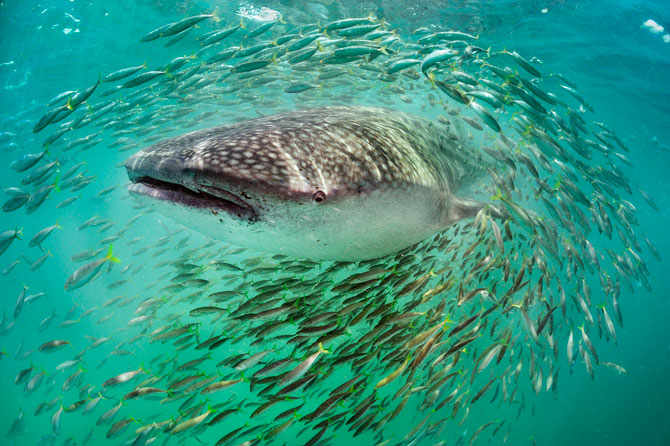 whale shark diving in belize