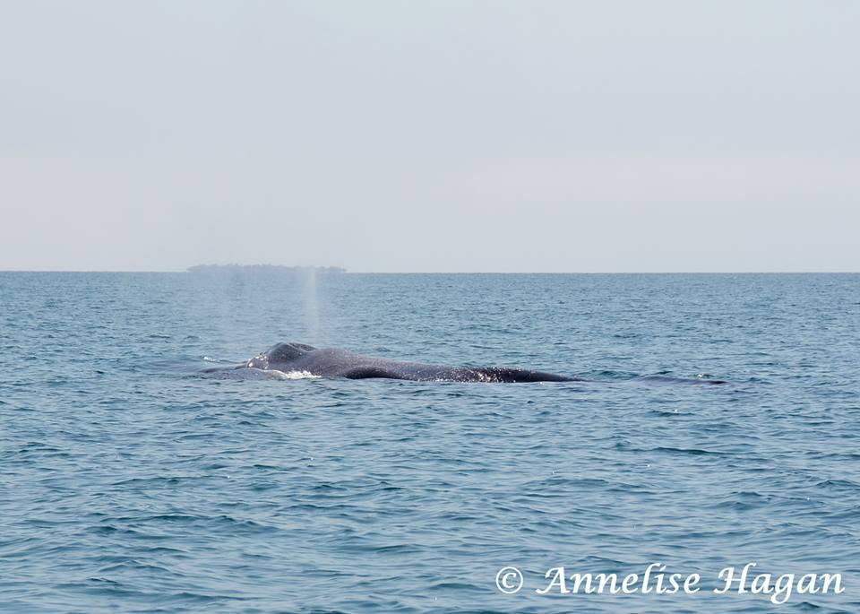 Humpback Whale off the Placencia Coast