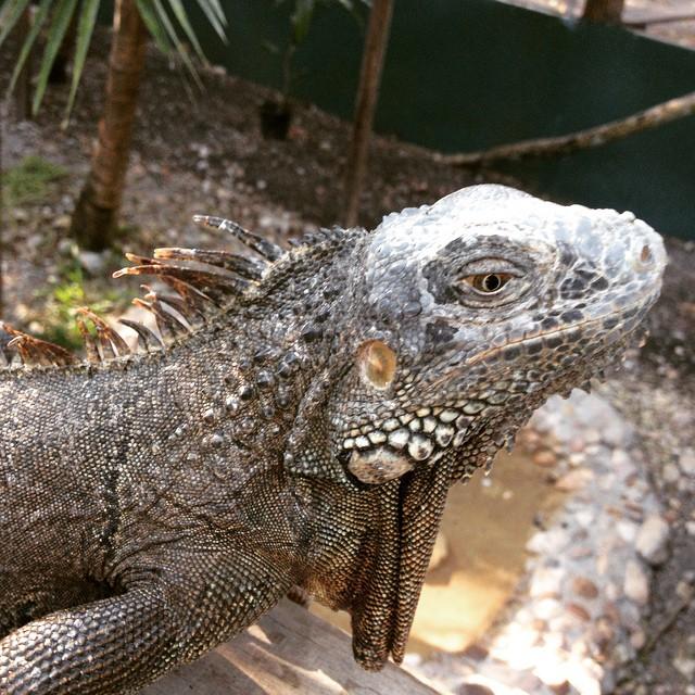 Belize iguanas